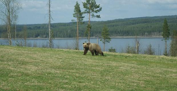Viltskådning_björn_2