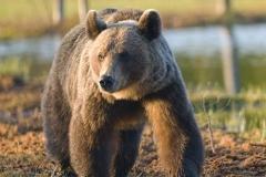 blandat_Bear